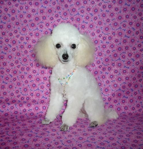 Lexis | Rainbow Toy Poodles