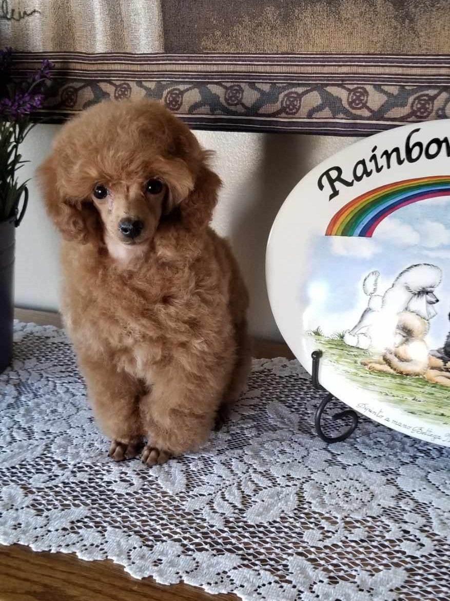 Nursery Rainbow Toy Poodles